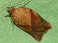 USDA Maintains Classification of Light Brown Apple Moth as Actionable Quarantine Pest