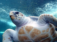 Swordfish Drift Gillnet Fishery Restricted to Protect Loggerhead Sea Turtles