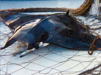 Drift Gillnets are Deadly Curtains of Death