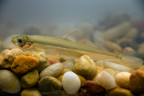 Delta Smelt on the Brink of Extinction