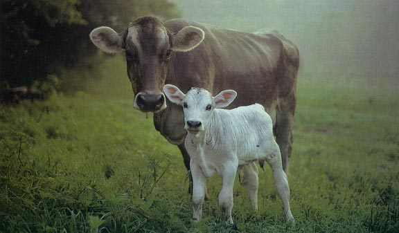 Lost calf reunited with mama cow in Williston | Ghost of ...