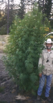 orgnic_outdoor_grown_cannabis.jpg