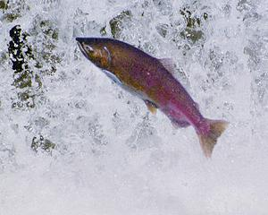 leaping_steelhead_1_1_1_1.jpg