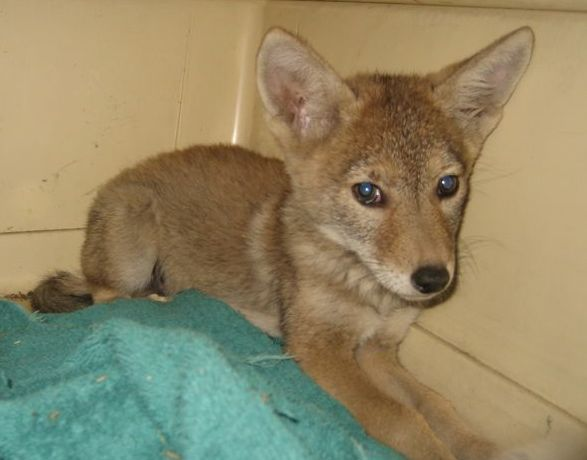 Animal Advocates Rescues Coyotes In Los Angeles