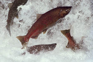 dwr_leaping_salmon.jpg