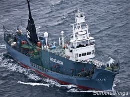 news_101231-1_4_sea_shepherd_hunts_whalers_7563.jpg