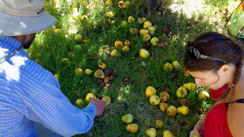 santa-cruz-fruit-tree-project_14_8-26-12.jpg