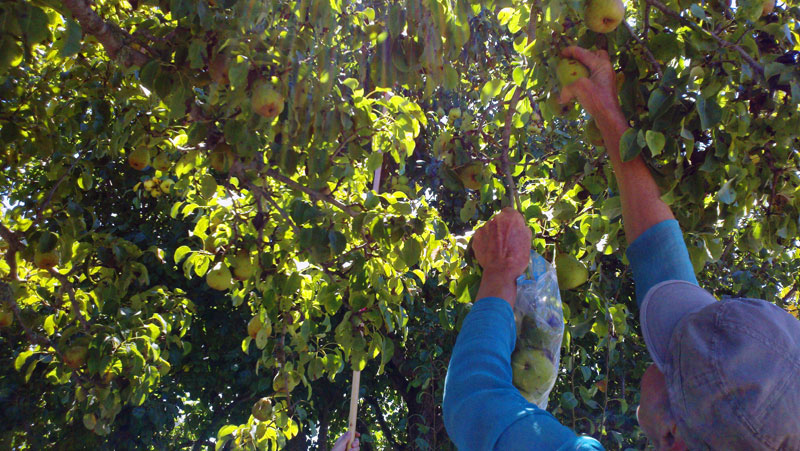 santa-cruz-fruit-tree-project_2_8-26-12.jpg