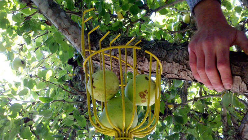 santa-cruz-fruit-tree-project_7_8-26-12.jpg
