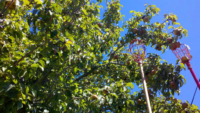 santa-cruz-fruit-tree-project_9_8-26-12.jpg
