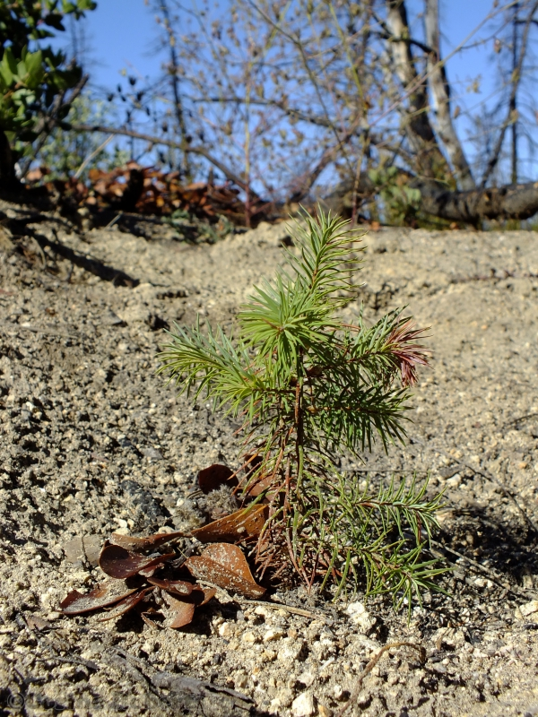 800_angeles_national_forest_september_12__2012_survivor_-_a_hnd_planted_big_cone_douglas_fir_seedling_that_will_probably_survive_the_winter_photo_by_corina_roberts_23114.jpg