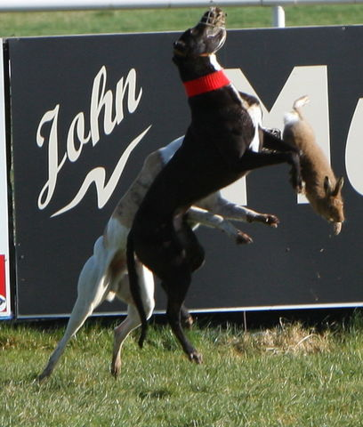 hare_being_tossed_by_muzzled_greyhounds_at_an_irish_coursing_event.jpg