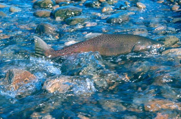 salmon-atop-of-stream.jpg