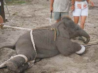 200_ringling_baby_elephant_training_square.jpg original image ( 399x365)