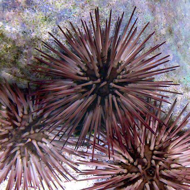 20130204_sea_urchins.jpg