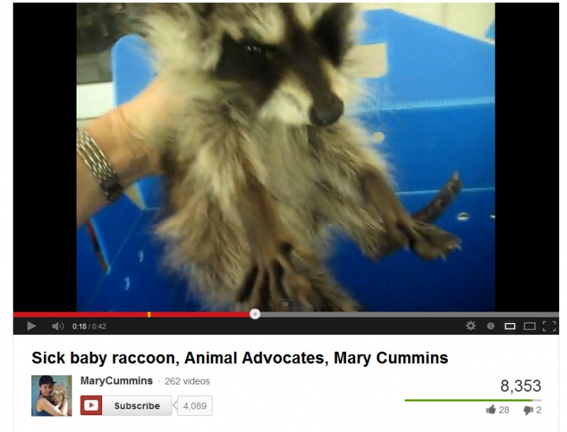 800_mary_cummins_makes_a_dying_baby_raccoon_suffer_to_be_filmed.jpg original image ( 867x662)