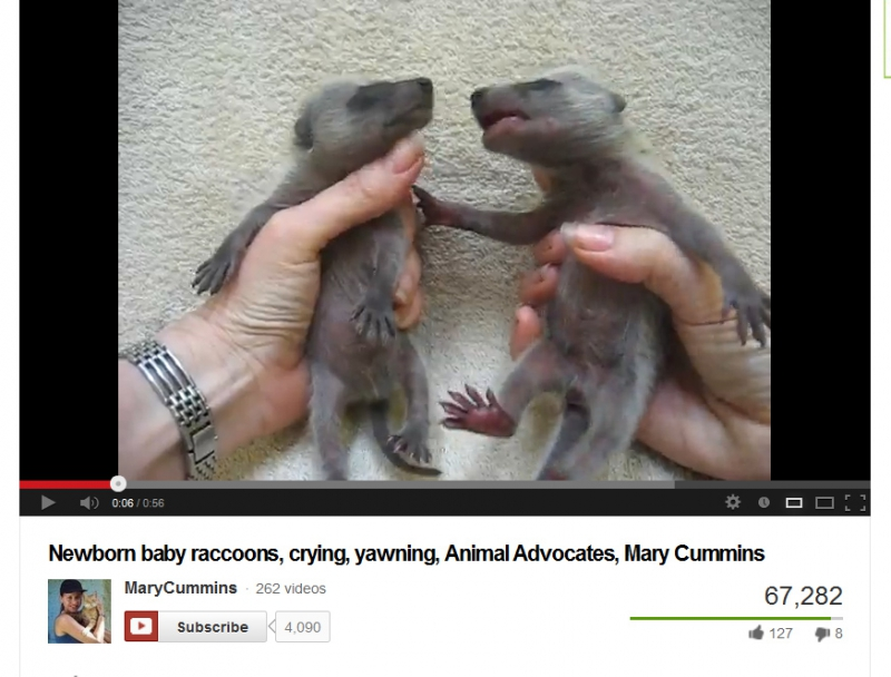 800_mary_cummins_making_baby_raccoons_cry_for_the_camera.jpg original image ( 874x665)
