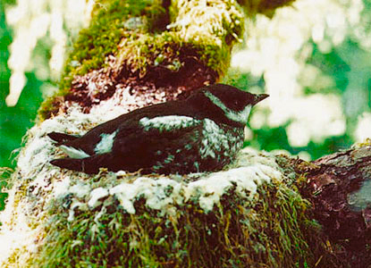 murrelet-tree-us-department-of-fish-wildlife.jpg