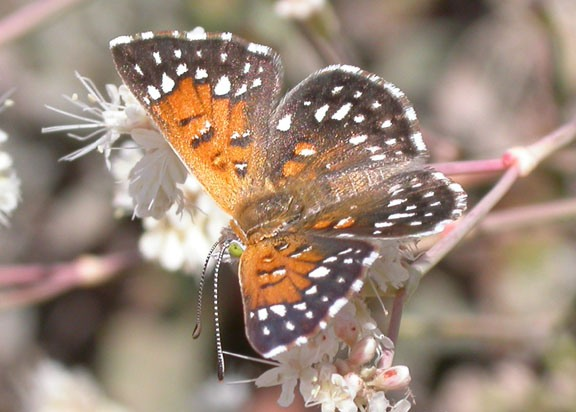 rs10023_langes_metalmark_butterfly_usfws_fpwc.jpg