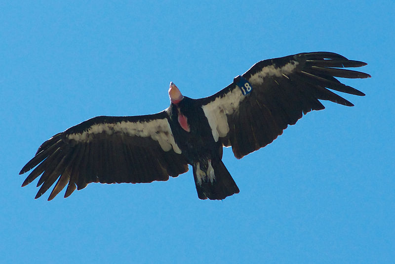 california_condor_pinnacles_photo_by_brian_sims.jpg