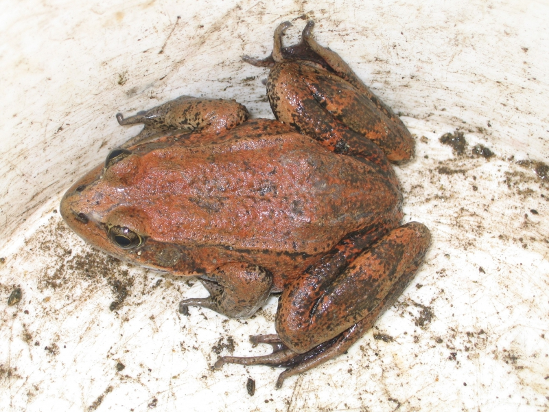 800_rs10090_california_red_legged_frog_usgs.jpg