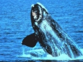 120_north-atlantic-right-whale.jpg