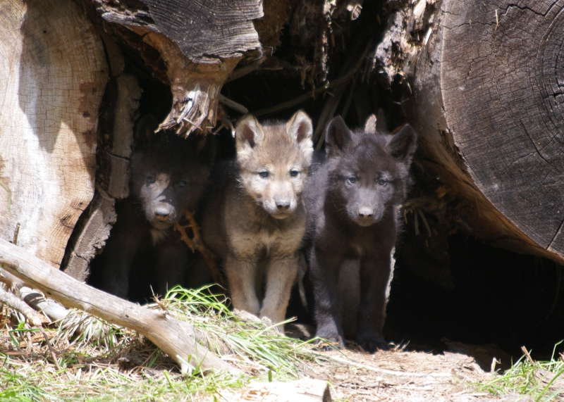 800_wenaha_pups_wolf_oregon.jpg