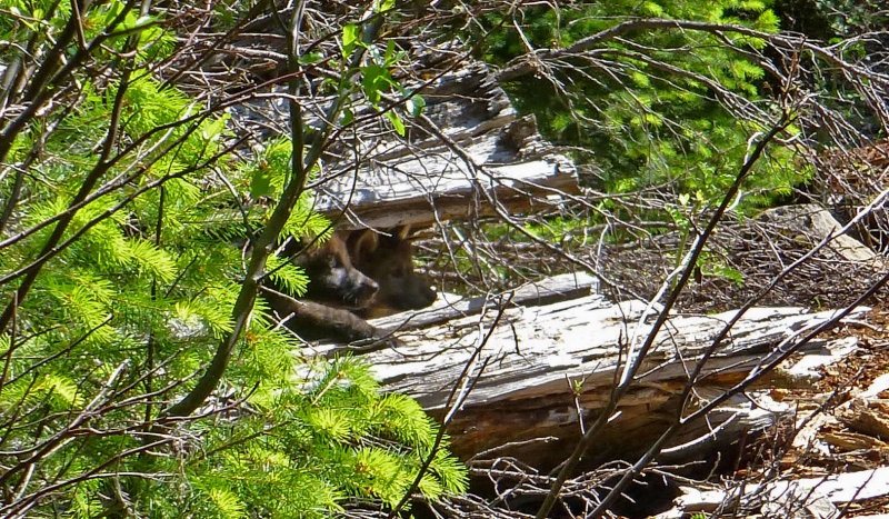 800_or_7_wolf_pups__rogue_river_siskiyou_national_forest_usfws.jpg