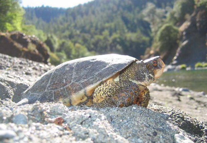 western_pond_turtle_actinemys_marmorata_on_beach_james_bettaso_fws_fpwc.jpg