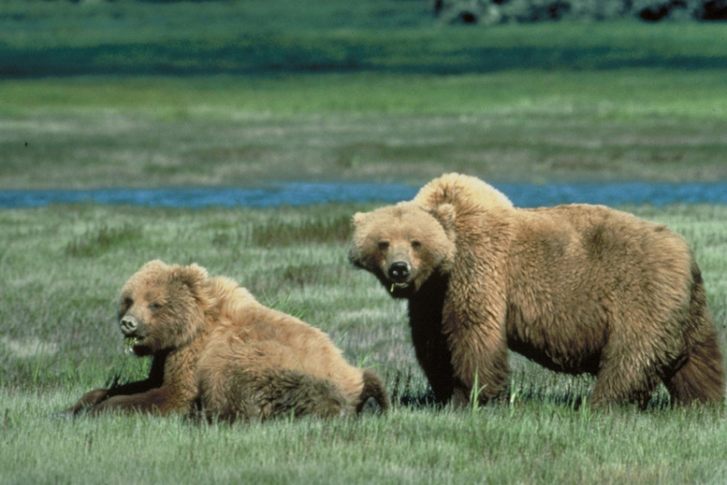 800_grizzly_bear_usfws.jpg original image (850x568)