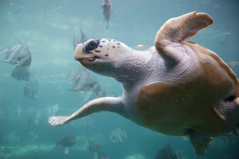 800_loggerhead_sea_turtle.jpg