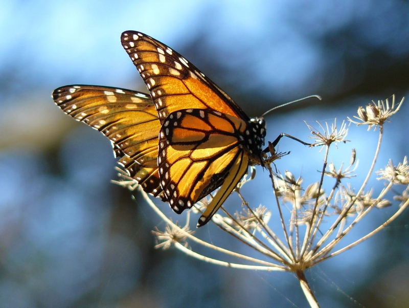800_monarch_butterfly_docentjoyce_wikimedia_commons_cc_by_fpwc.jpg