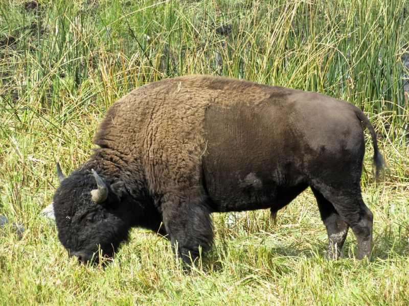 800_yellowstone-buffalo.jpg