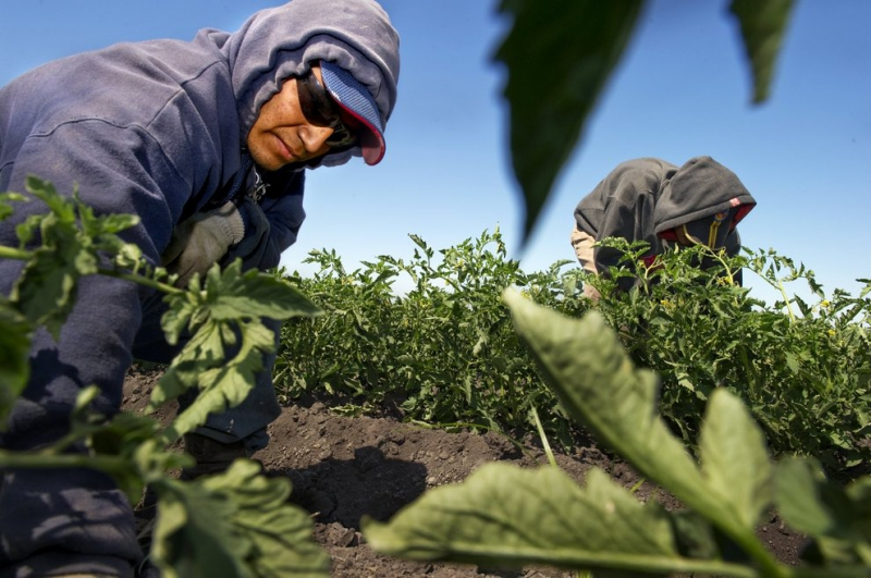 800_farmworkers_in_fields.jpeg