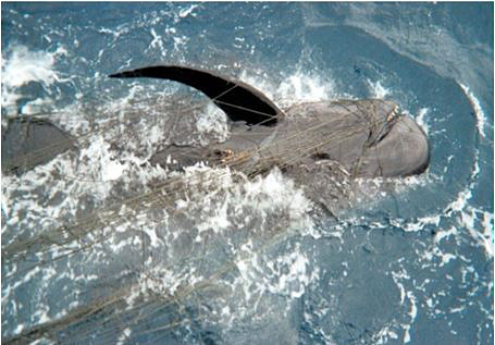 short_finned_pilot_whale_california_drift_gillnet_noaa.jpg