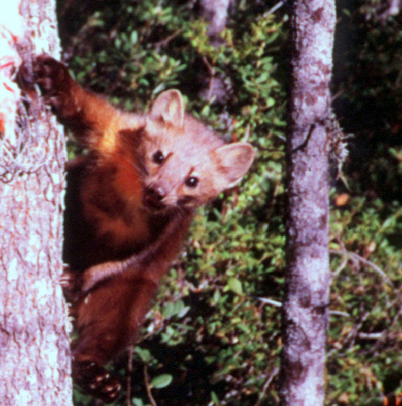 Groups Fight to Save Rare, Mink-like Carnivore in California, Oregon