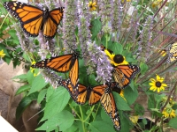 200_monarch_butterfly_collette_adkins_cbd_fpwc.jpg original image (1600x1200)