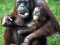 120_ask_orangutans_to_give_up_living_and.jpg original image (900x1087)