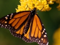 120_monarch_butterfly.jpg original image (488x272)
