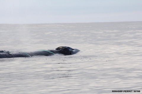 480_humpback_california_whale_rescue_moss_landing_3.jpg