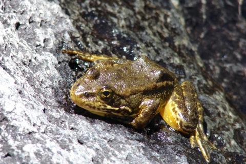 480_mountain_yellow_legged_frog_rick_kuyper_usfws_fpwc.jpg