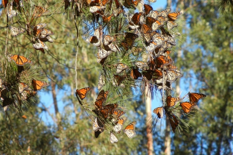 480_monarch_butterfly_cluster_xercessociety-candacefallon.jpg