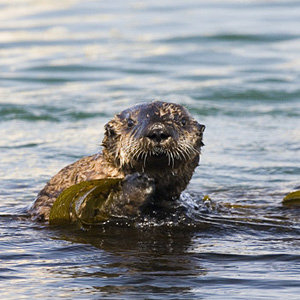 sea_otter_california_flickrcreativecommons_mike_baird.jpg