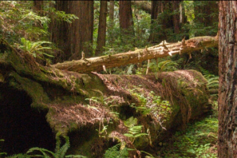 480_redwood-forest.jpg