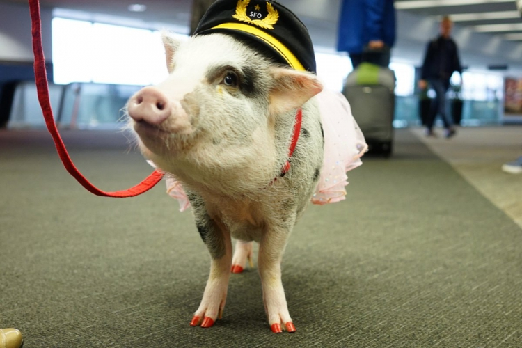 sm_lilou_therapy_pig_san_francisco_airport_sfo.jpg
