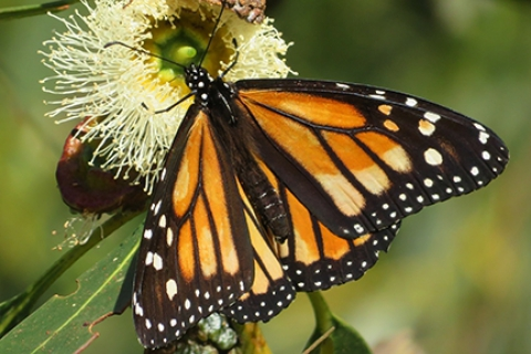 480_monarch_butterfly_santa_cruz_photo_by_rita_leroy.jpg