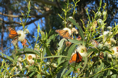 480_monarchs5_santa_cruz_photo_by_rita_leroy.jpg