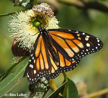 monarch_butterfly_santa_cruz_photo_by_rita_leroy.jpg