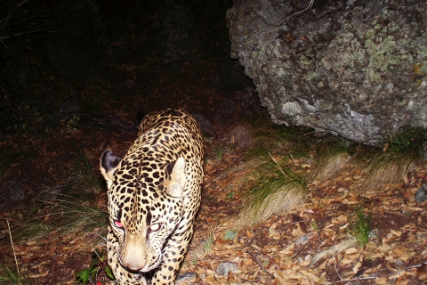 480_arizona_jaguar_el_jefe_2015_conservation_catalyst_and_the_center_for_biological_diversity_1.jpg