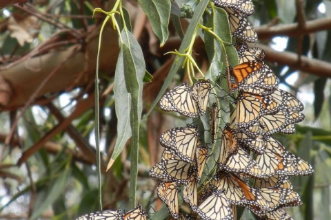 480_monarch_butterflies_eucalyptus_candace_fallon_xerces_society.jpg